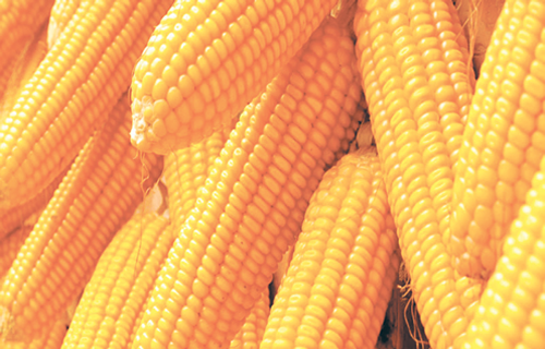 Disquiet over nigerias maize import the recent approval of some firms to import maize by the federal government is causing ripples among farmers taiwo hassan reports voltagebd Image collections