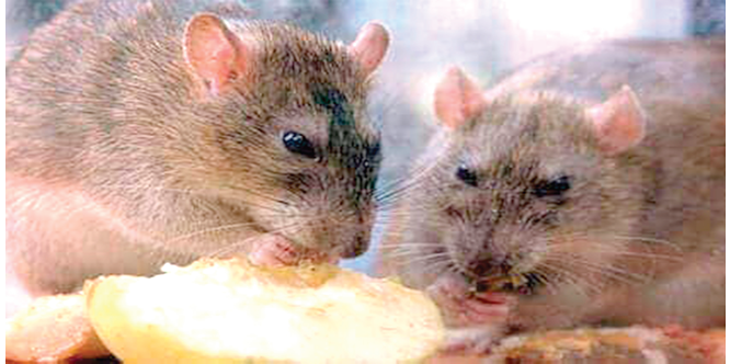 Wife laces husband food with rat poison