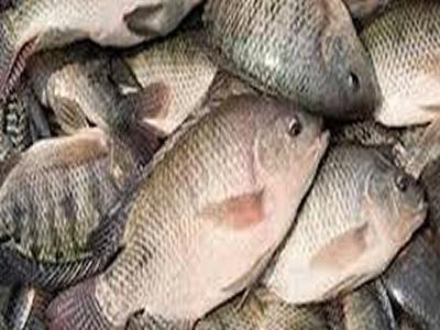 Tilapia fish import: Can Nigeria meet local needs?
