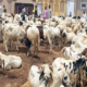 In Lagos, buying of rams has gone digital